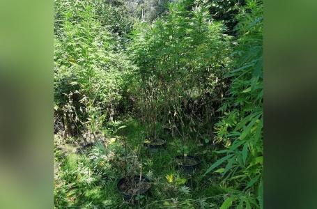 Twee meter hoge wietplanten gevonden
